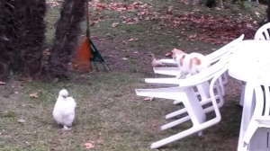 Poules et chat