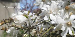 Magnolia trompé par la douceur climatique du jardin des chambres d'hôtes de la villa Dampierre
